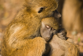 Peace Among Primates