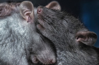 Bromances Can Protect Males Under Stress