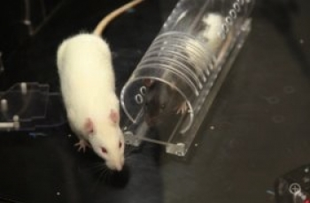 Are Rats Born Racist?