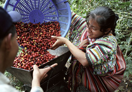 A Guatemalan Mayan woman pours fair trade red coffee beans into a depulping machine.