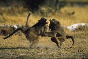 Scientists have looked to other primates for the roots of human violence, but other research finds the potential for peace.