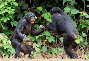They look like they're fighting—but in fact these two bonobos are playing.